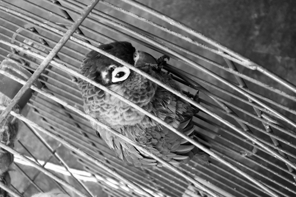 'Bird in a Cage 4'