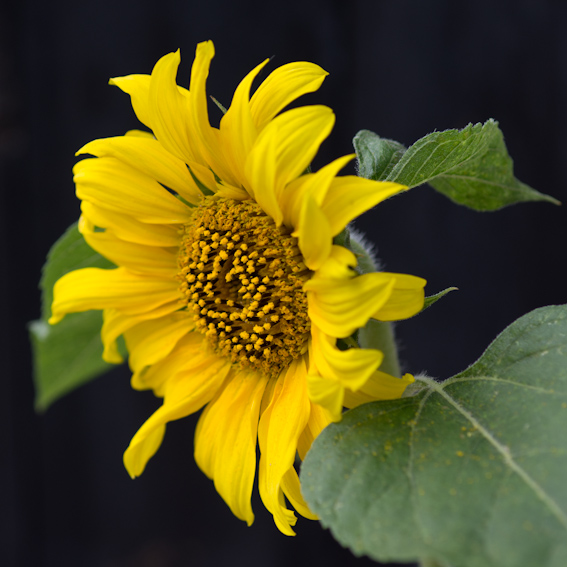 'Sunflower part 2'