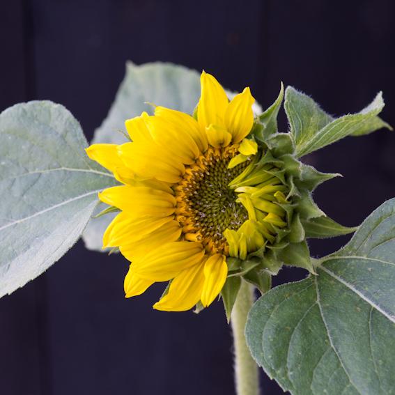 'Sunflower part 1'